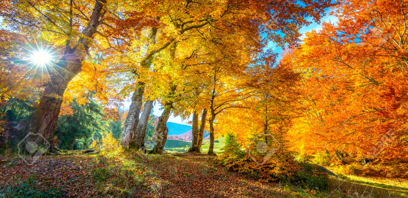 Golden Autumn in forest - vibrant leaves on trees, real sunny weather and nobody, fall nature landscape, panoramic - 131155640
