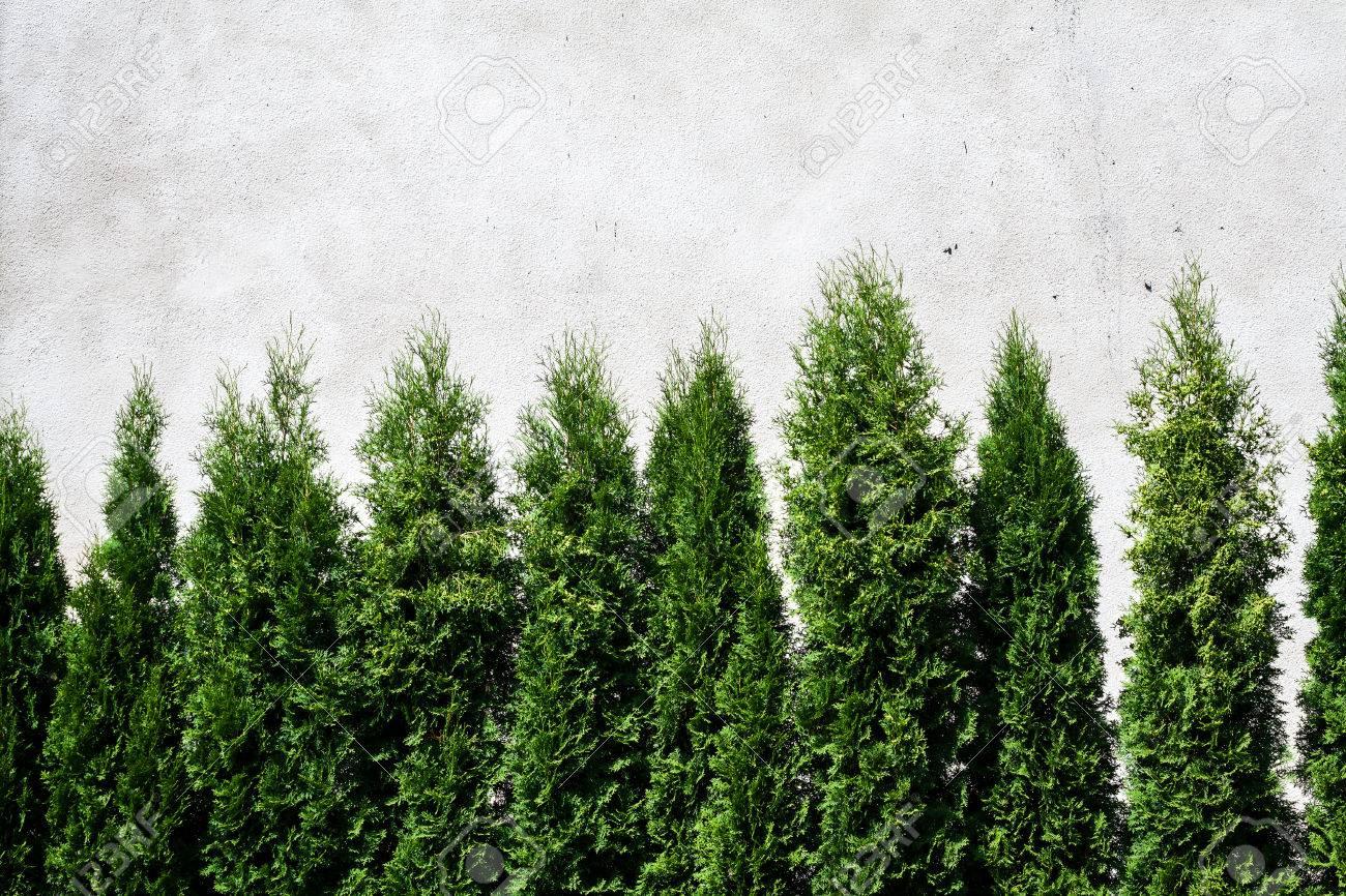 ceny odprawy oficjalny dostawca butik wyprzedażowy Fila de thuja árboles contra la pared blanca