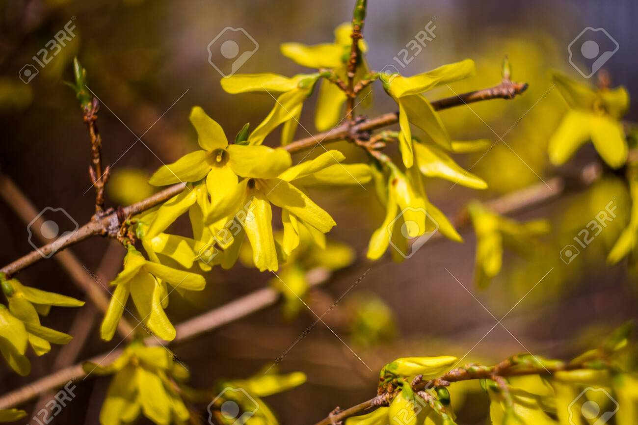 Yellow Blossoms Of Forsythia Bush First Blooming Bush In Spring