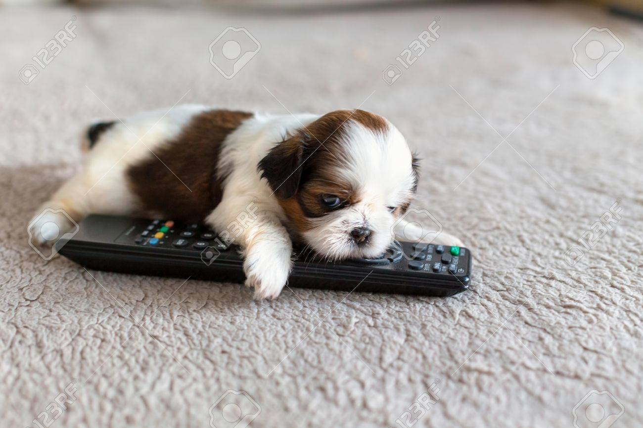 Little White Colored Shih Tzu Puppy With Remote Control Stock Photo Picture And Royalty Free Image Image 43609048