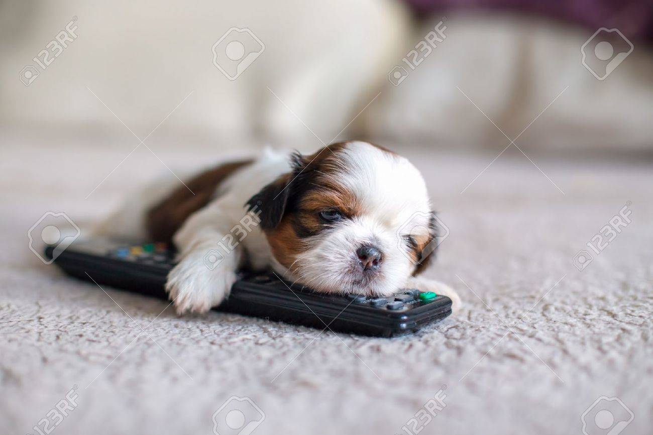 Face Of Little Shih Tzu Puppy With Remote Control Stock Photo