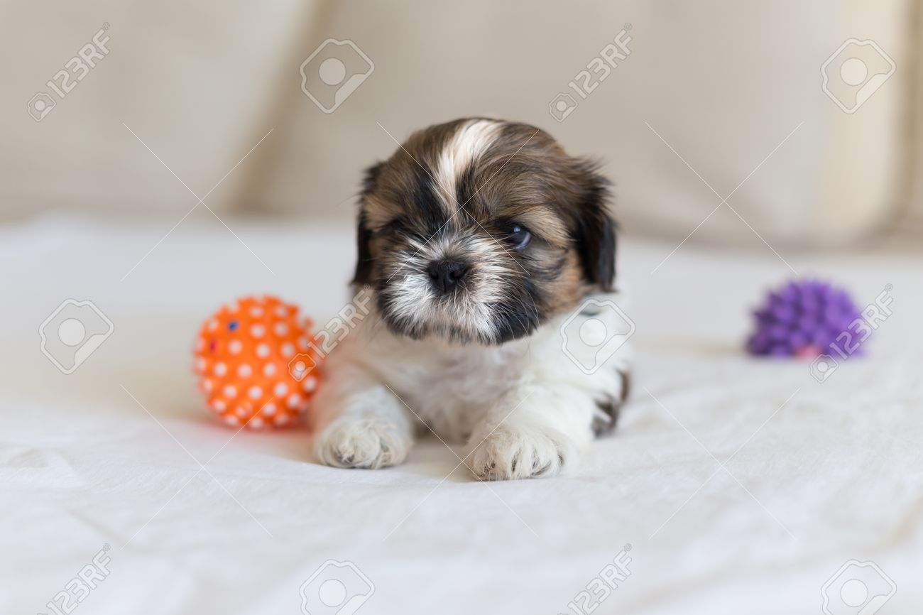 Little White Colored Shih Tzu With Sad Eyes Stock Photo Picture And