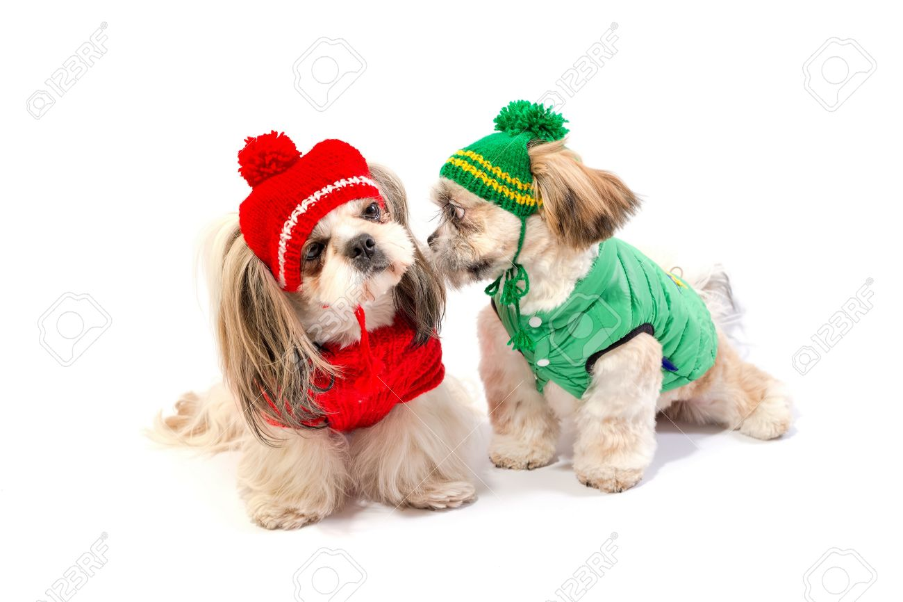 Two Happy Shih Tzu Puppies Playing In Winter Clothes Isolated Stock Photo Picture And Royalty Free Image Image 50839389