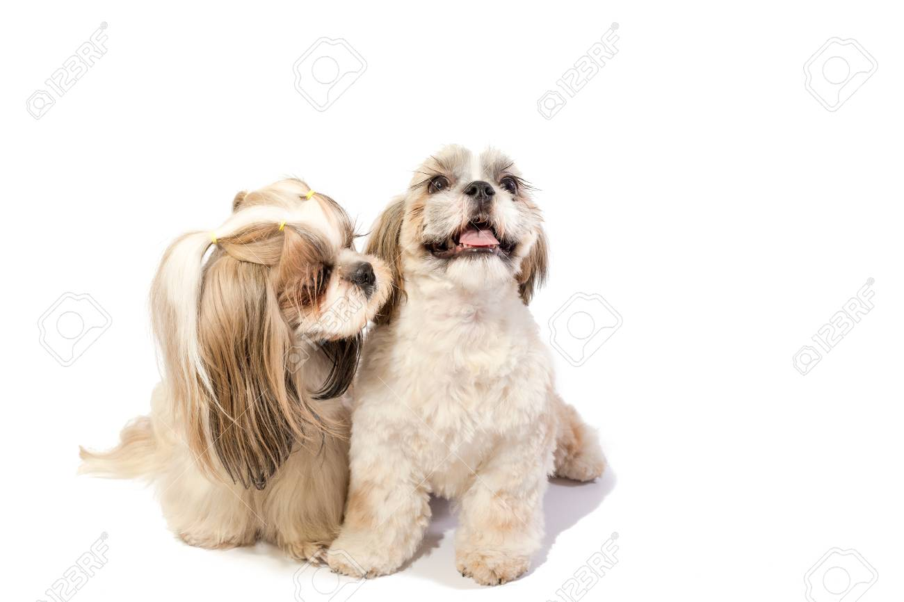 Two Shih Tzu Moms Care About Her Fun Puppy Isolated On White