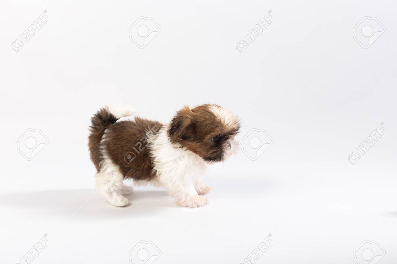 One Funny Shih Tzu Puppy Isolated On White Background Stock Photo Picture And Royalty Free Image Image 60897199