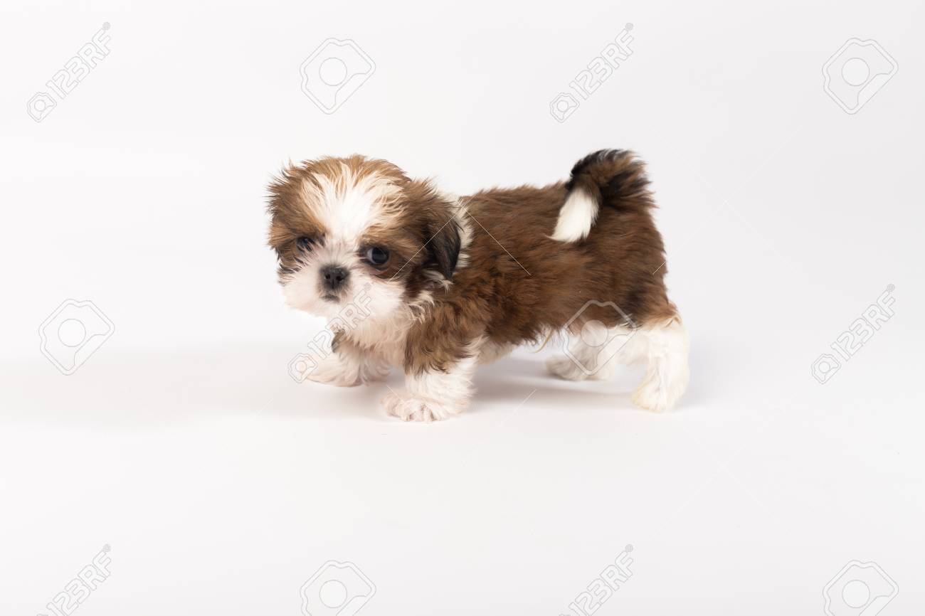Little Colored Funny Shih Tzu Puppy Isolated On The White Background Stock Photo Picture And Royalty Free Image Image 60897205