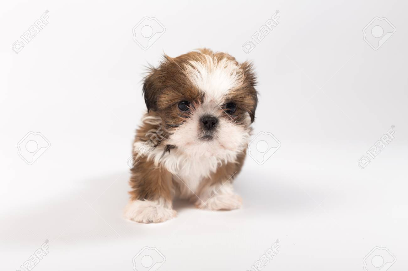 One Funny Shih Tzu Puppy Isolated On White Background Stock Photo Picture And Royalty Free Image Image 60897326