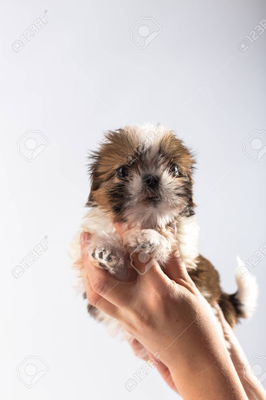 Little Cute Shih Tzu Puppy In The Womans Hand Isolated On White