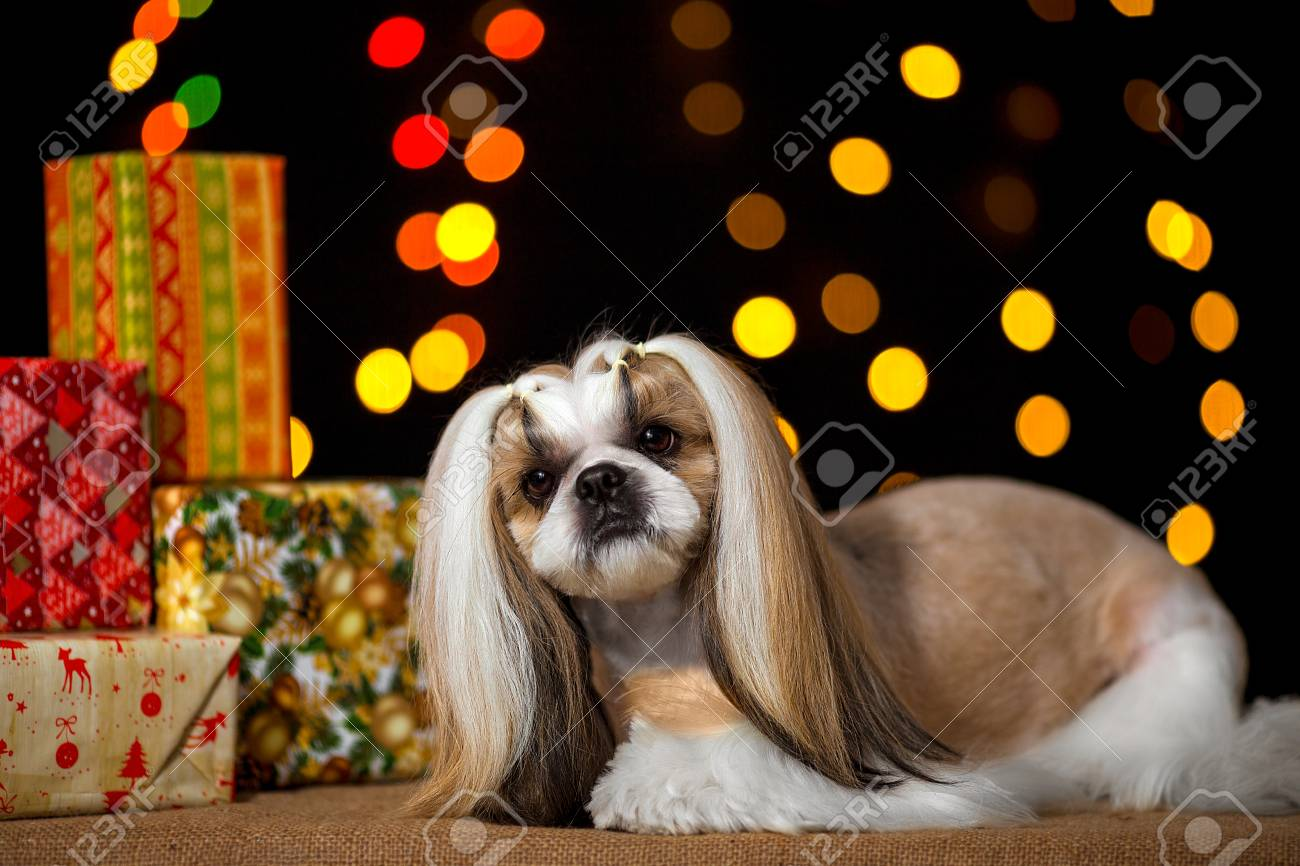 Beautiful Shih-tzu Dog With Christmas Presents And Bokeh. Best ...
