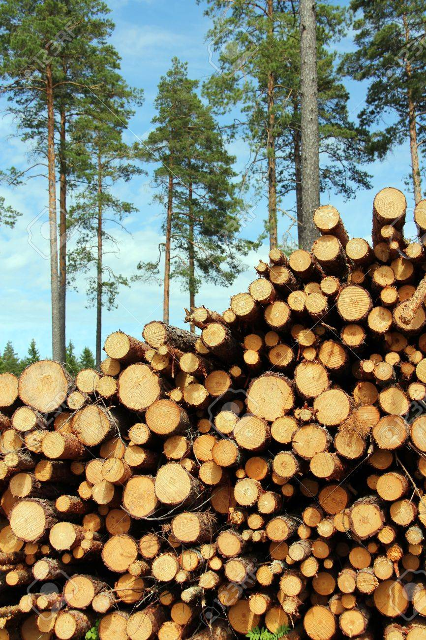 High pile of cut wooden logs with pine trees on the background Stock Photo - 13666040