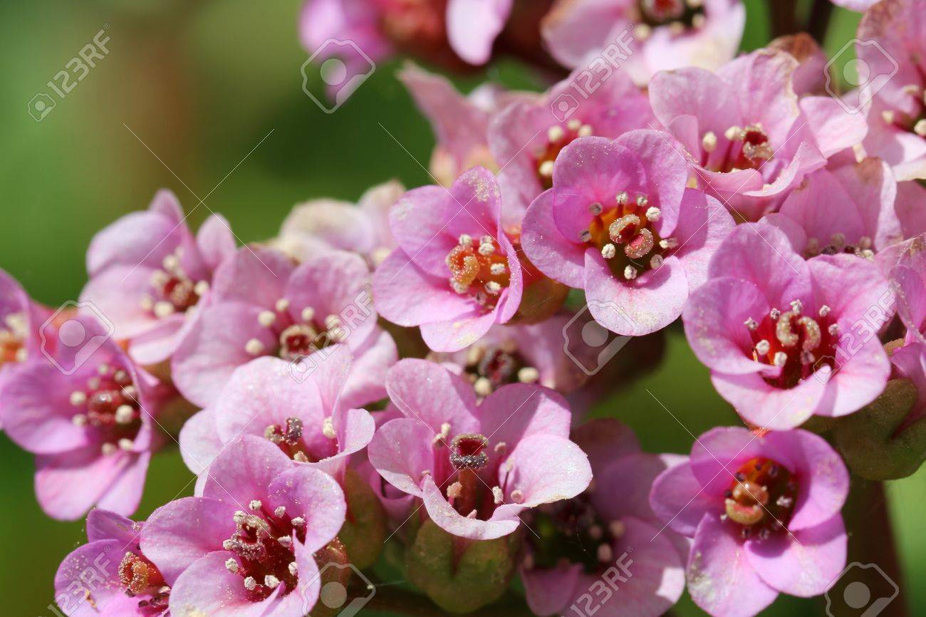 Close Up Of Pink Bergenia Cordifolia Flowers A Common Garden - Common garden flowers