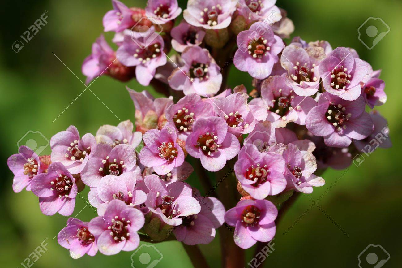 Close Up Of Pink Bergenia Cordifolia Flowers A Common Perennial