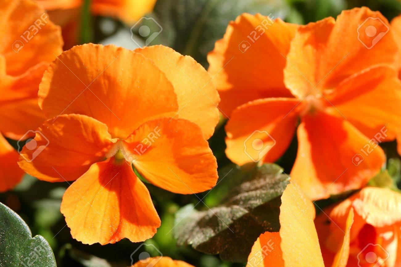 Gros Plan De Fleurs De Pensee Oranges Banque D Images Et Photos