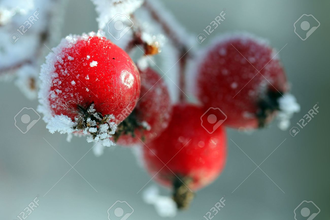 Red rowan berries covered with ice and frost, suitable for holiday season images - 16098059