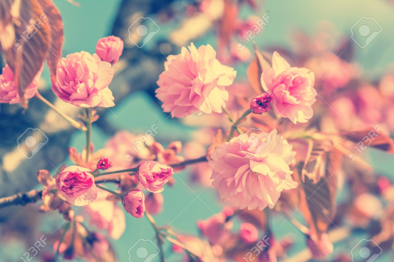 Sakura flower cherry blossom. Greeting card background. Vintage soft toned effect. Shallow depth Stock Photo - 65812382