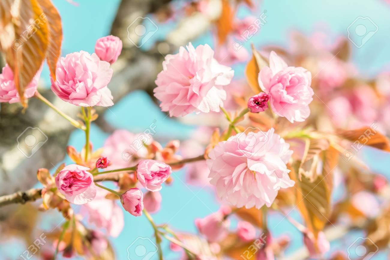 Sakura flower cherry blossom. Greeting card background. Vintage soft toned effect. Shallow depth Standard-Bild - 71389471