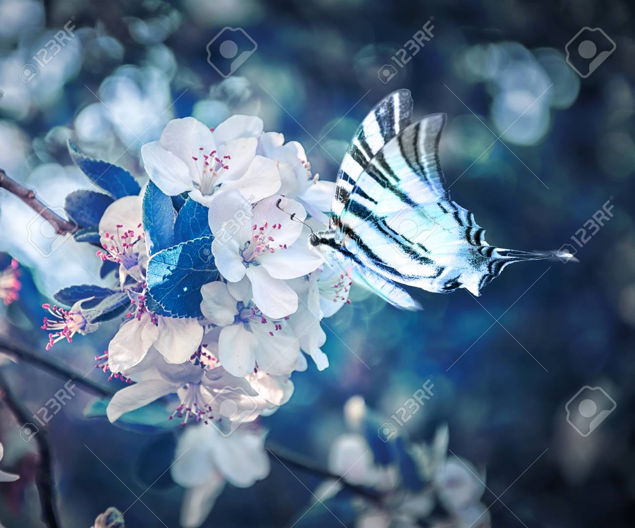 64790a409 Beautiful sakura flower cherry blossom and butterfly fluttering over  close-up. Greeting card background