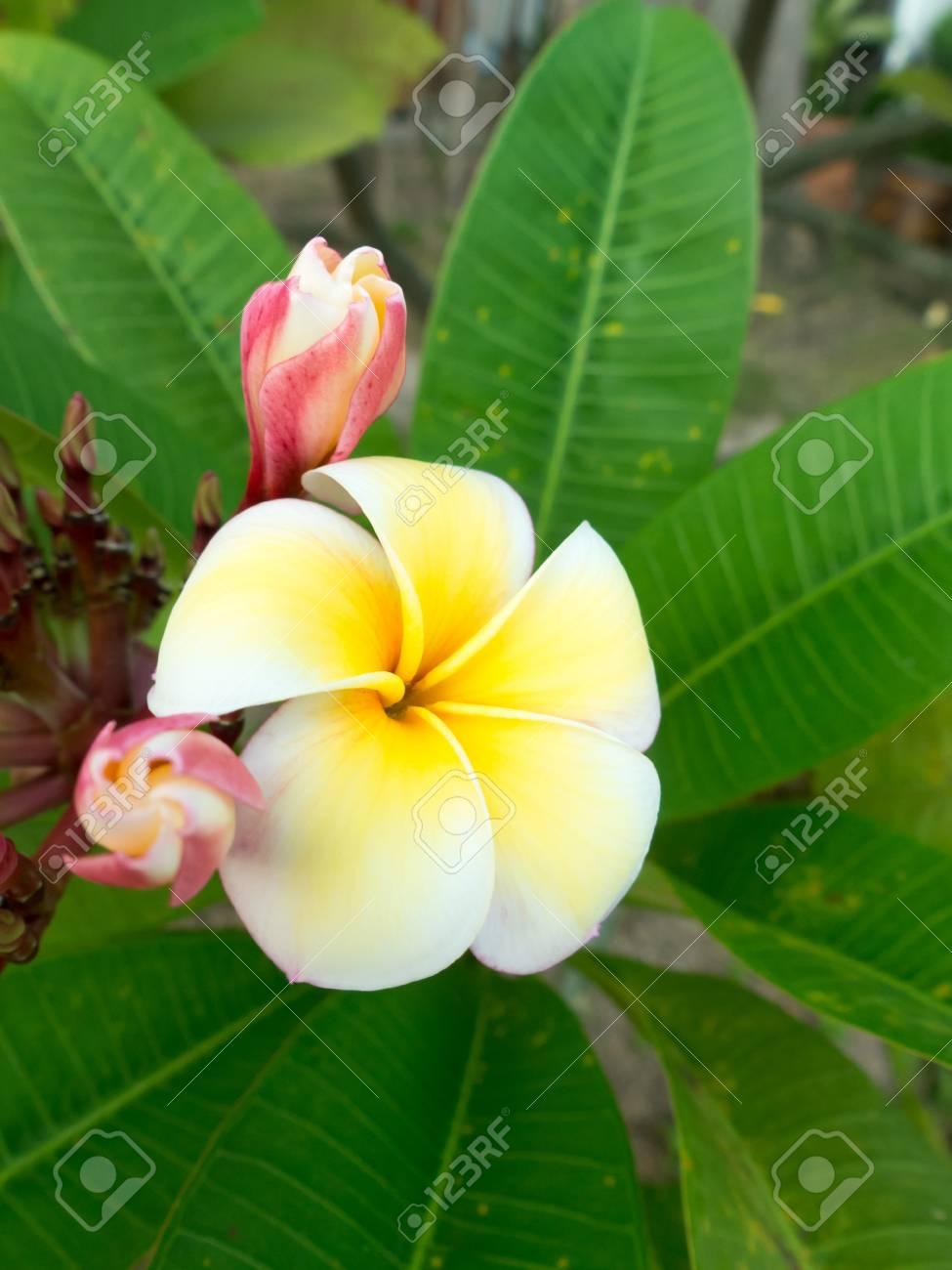 Beautiful White And Yellow Plumeria Flower Frangipani Flowers