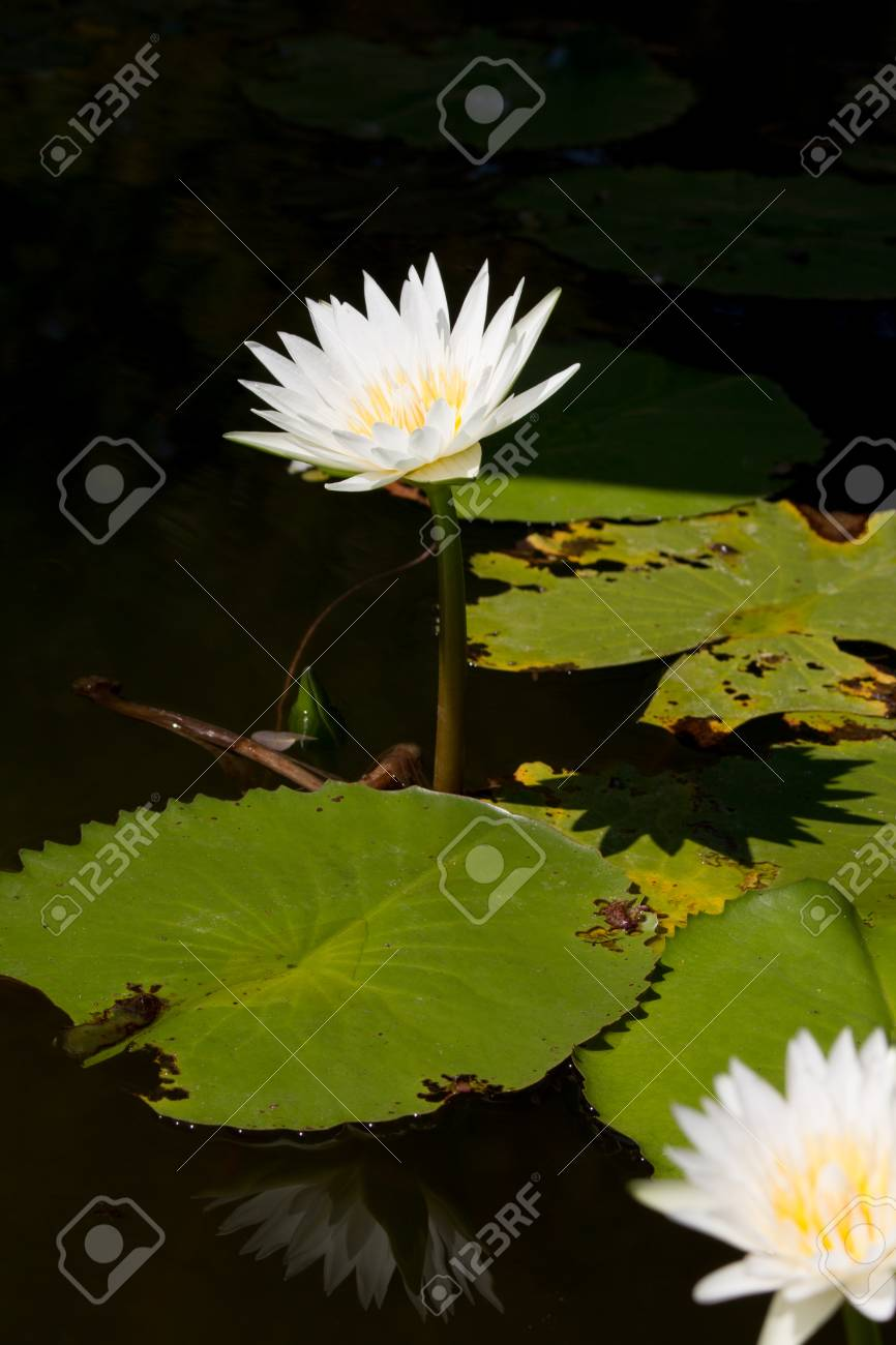 This Beautiful Waterlily Or Lotus Flower White Colour In Pond