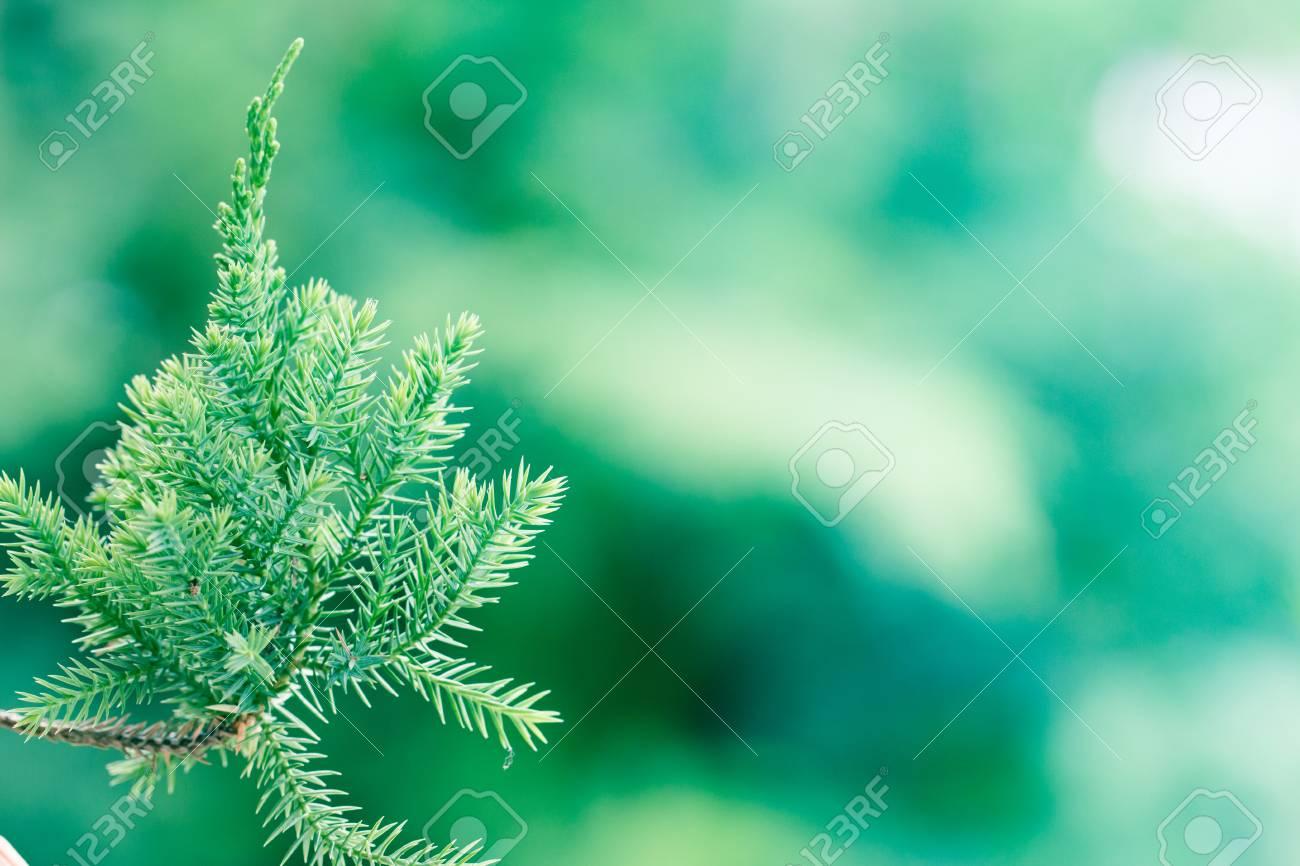 松の木 常緑ジュニパー背景 クリスマスと冬の壁紙 の写真素材