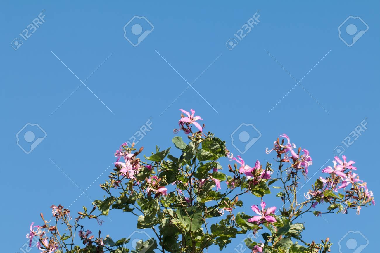 Bauhinia purpurea or orchid tree flower on tree with blue sky bauhinia purpurea or orchid tree flower on tree with blue sky background stock photo izmirmasajfo