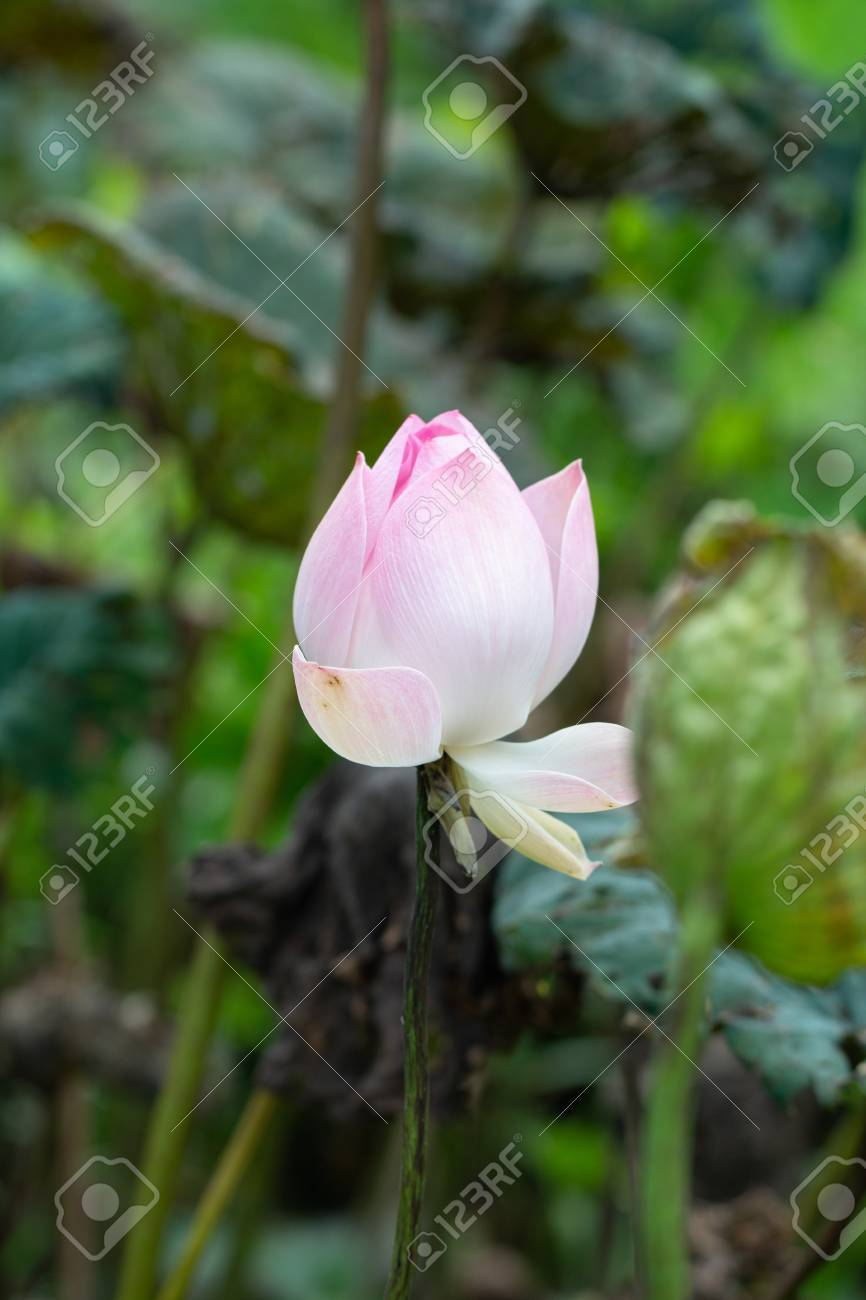 Close Up Of Lotus Flower With Lotus Leaf Background Lizenzfreie