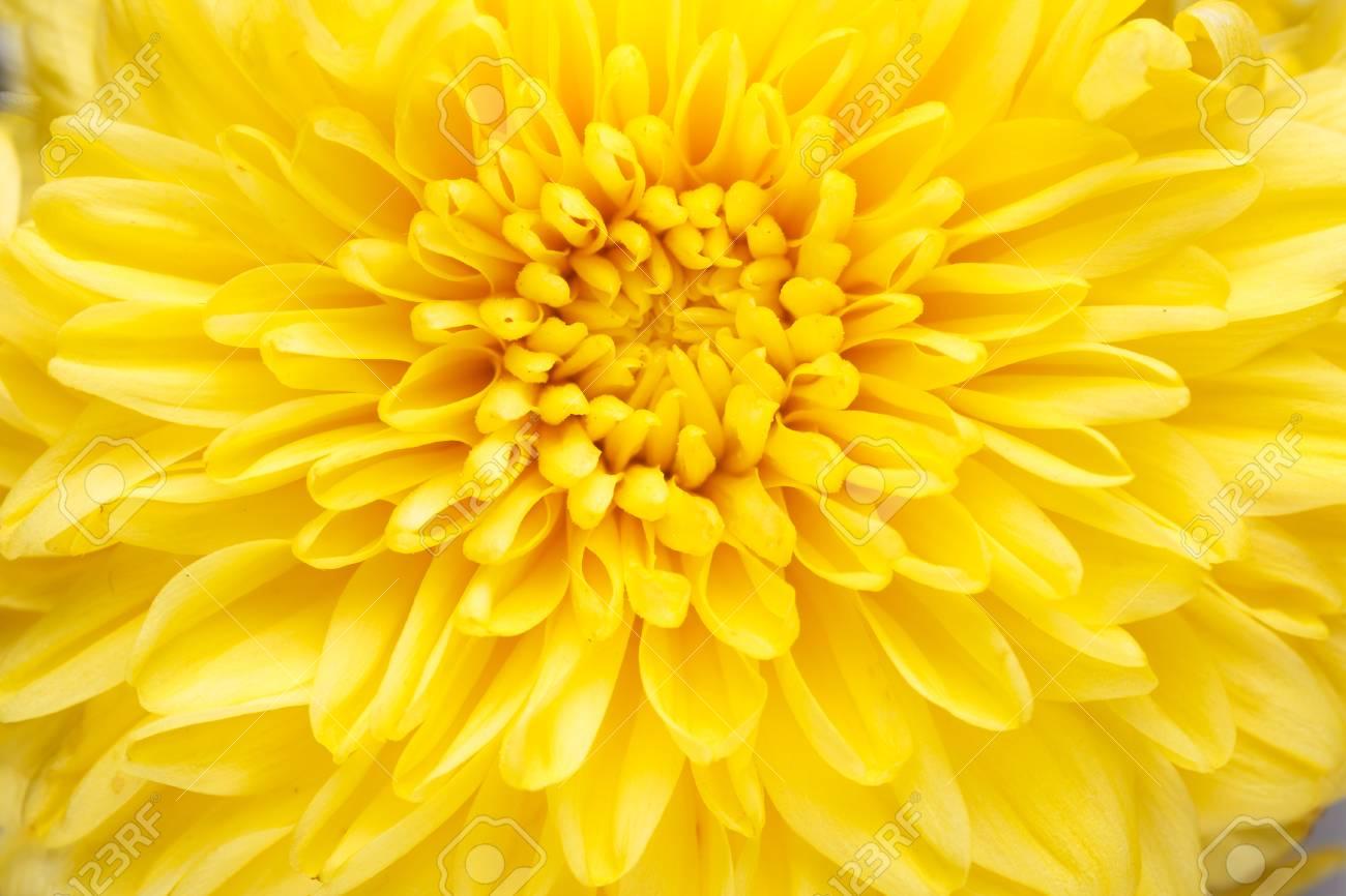 Background Of Vibrant Yellow Mum Flower Close Up Stock Photo