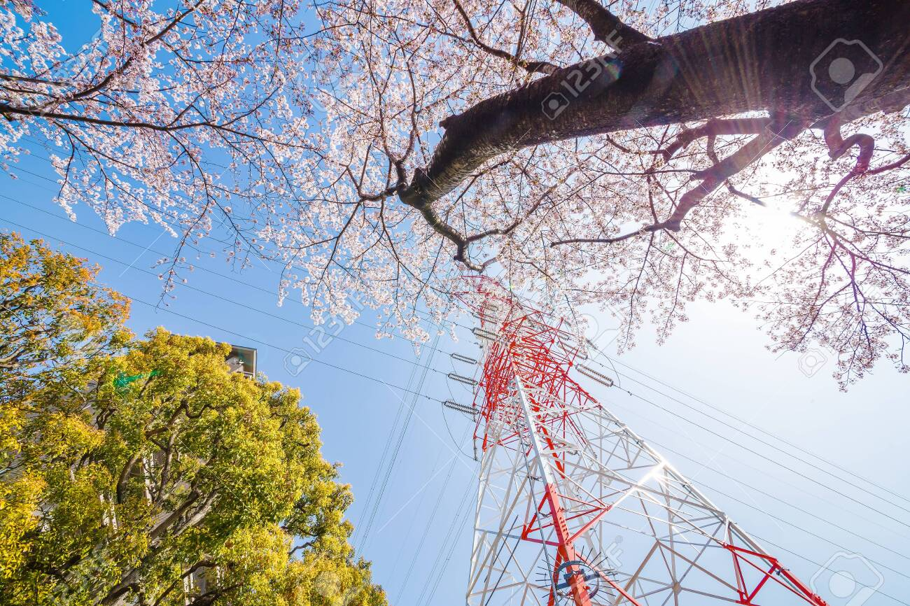 Cherry blossoms and towers in full bloom - 150781447
