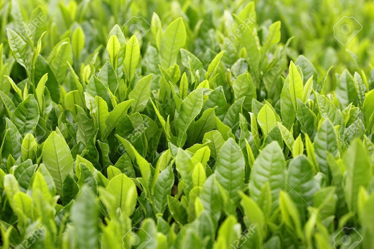 Fresh Green tea leaves in japansayama tea - 46190628