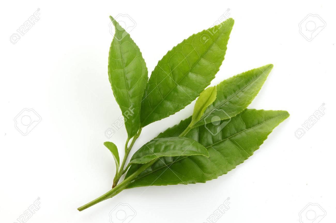 Fresh Green tea leaves isolated on white - 46190843