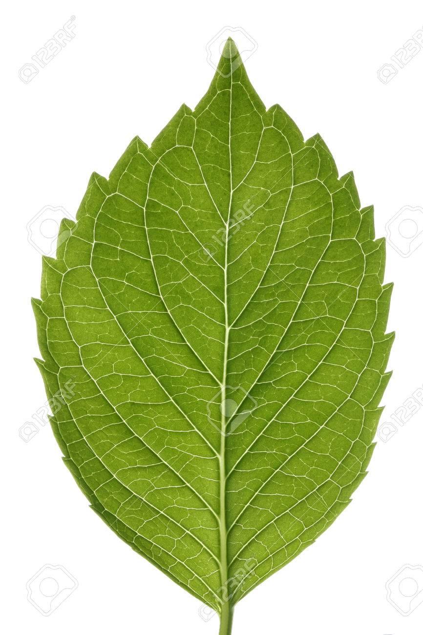 Hydrangea leaf isolated on white... - 46618023