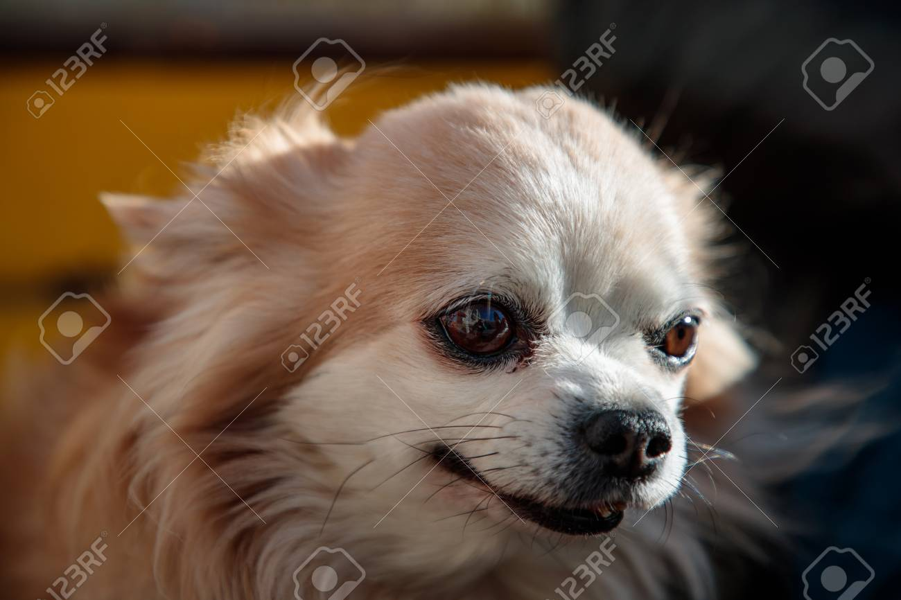 Tremendous Small Fluffy And White Dog Near Its Owner On A Bench Frankydiablos Diy Chair Ideas Frankydiabloscom