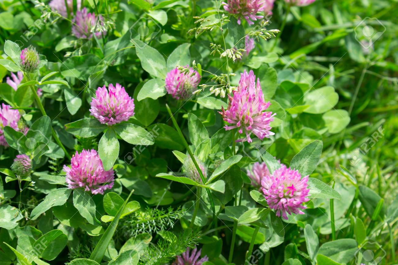 A Pink Clover Flowers In The Springtime Stock Photo Picture And