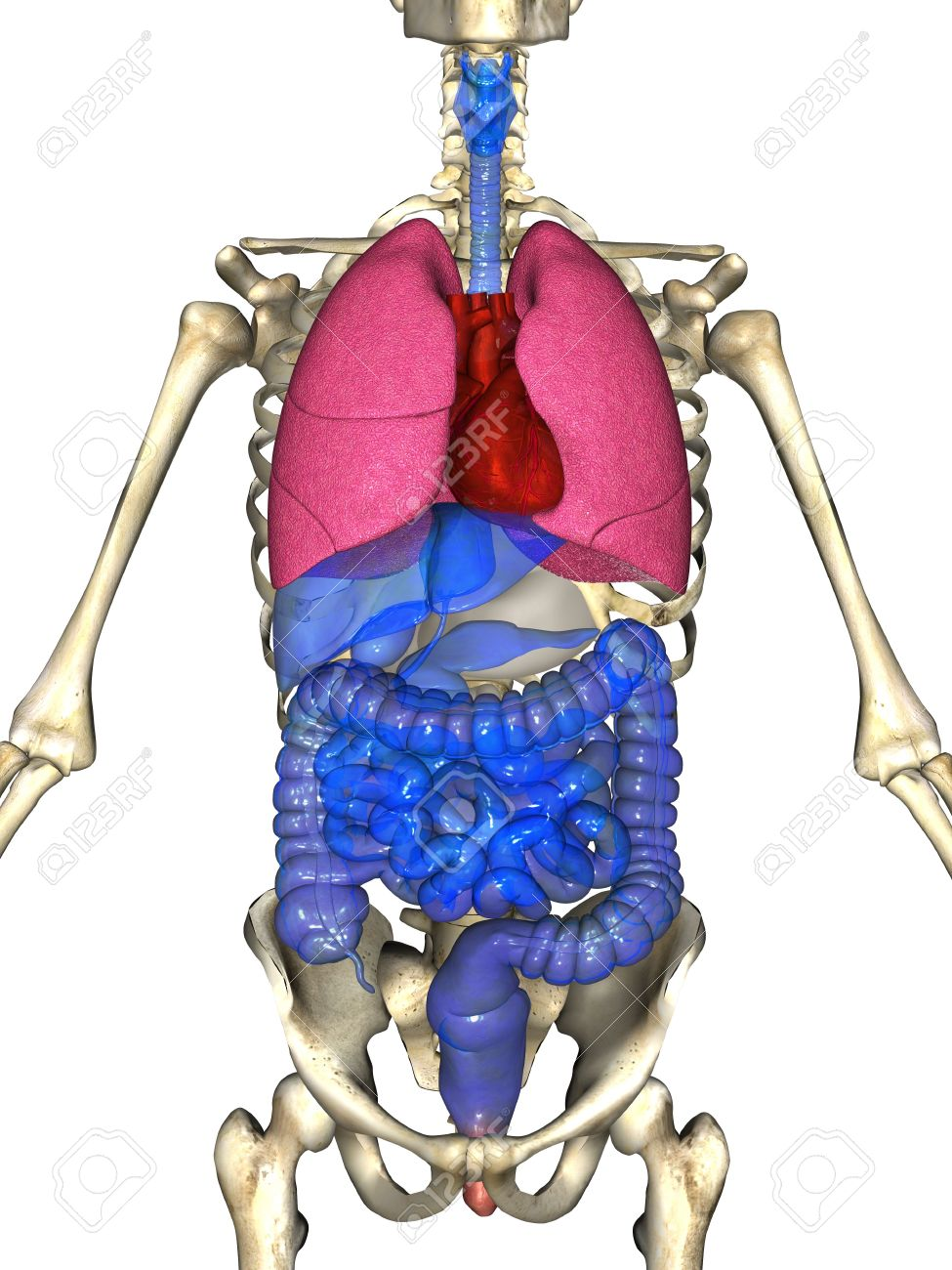 3d Rendering Of The Major Organ Systems Of The Human Body