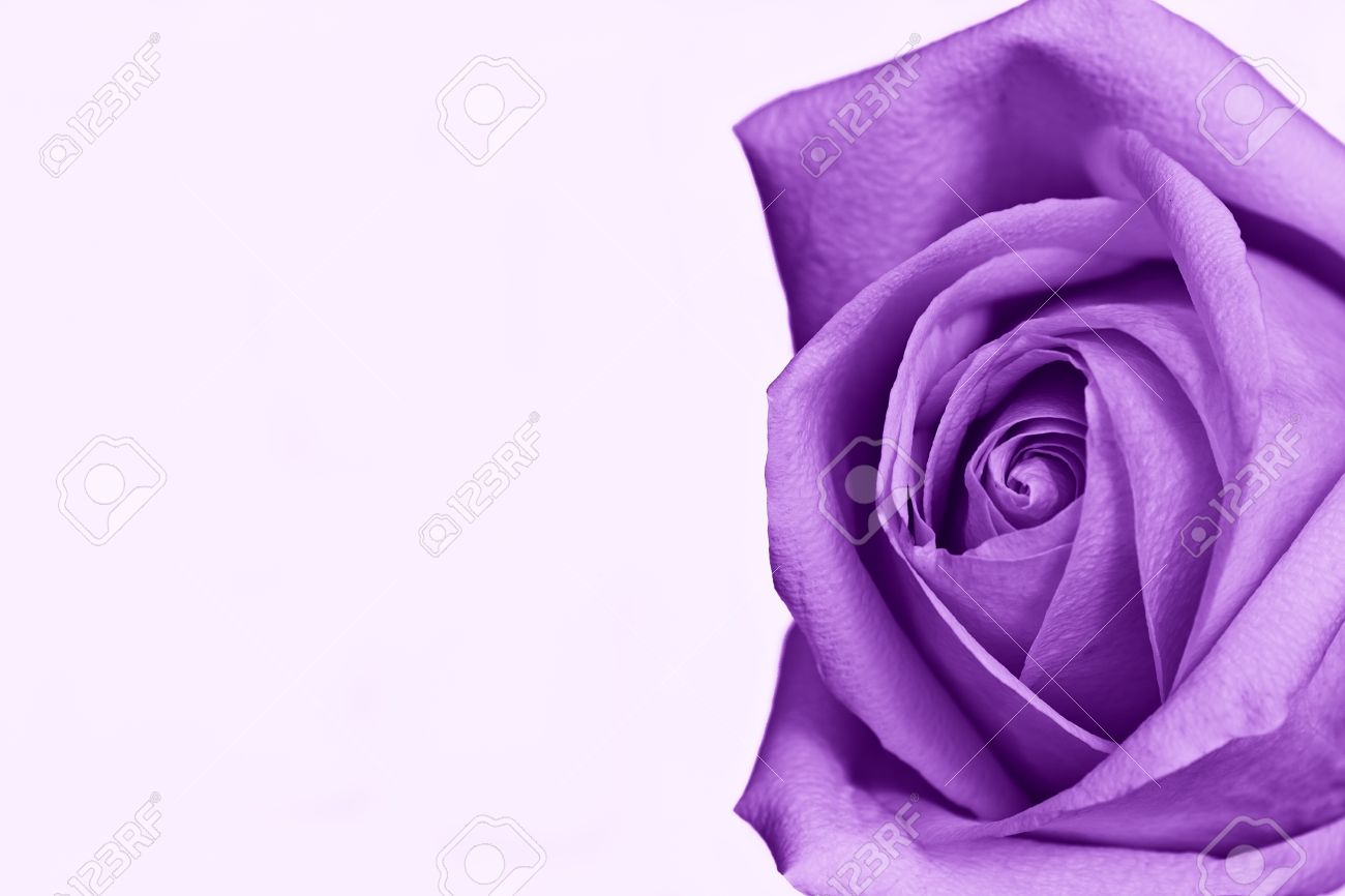 Single Purple Rose Against White Background Room For Text Stock Photo