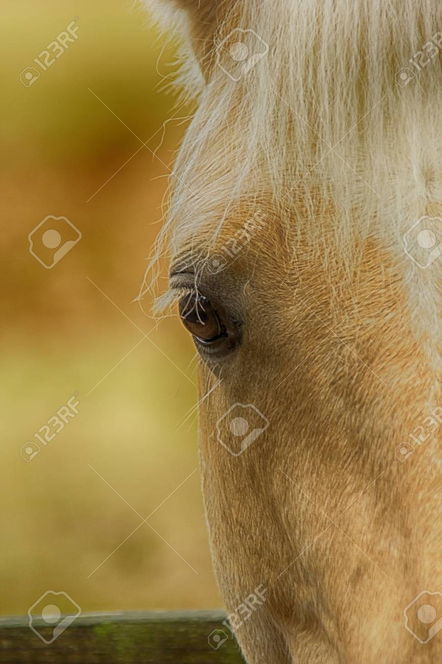 Beautiful Palomino Horse Portrait Stock Photo Picture And Royalty Free Image Image 25122656