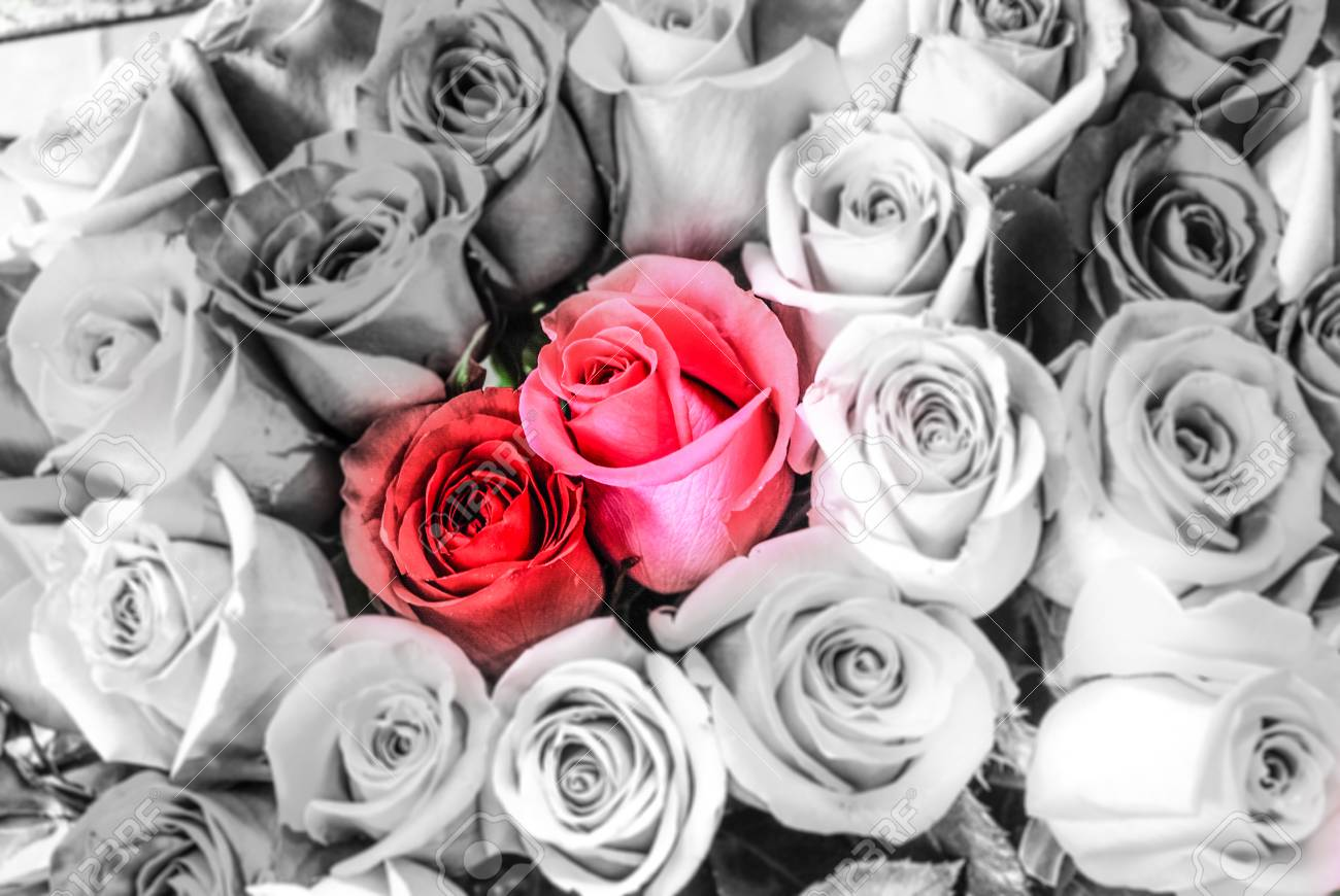 Romantic Red Roses With Black And White Background As A Gift Stock