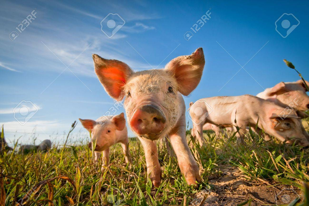 One cute pig curious on the camera Stock Photo - 9951708