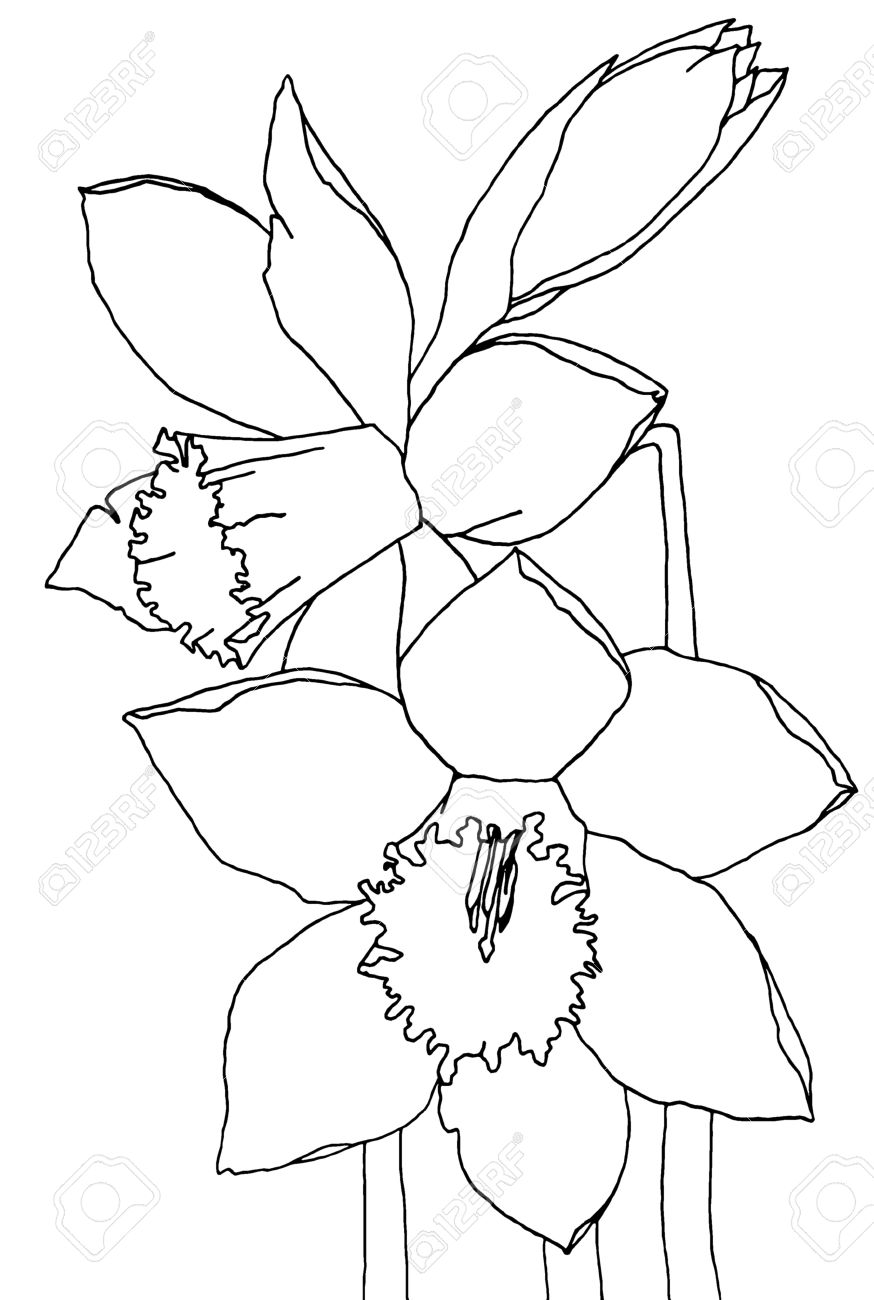 black daffodil images u0026 stock pictures royalty free black