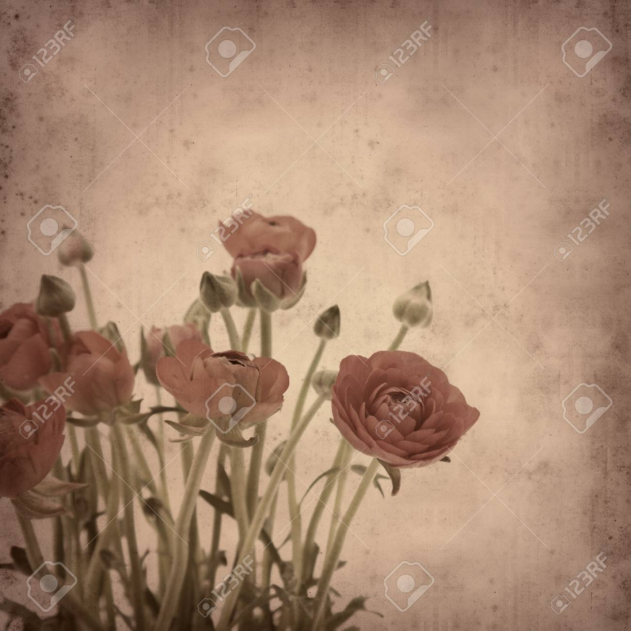 old paper background with Ranunculus asiaticus (Persian Buttercup) Stock Photo - 11864609