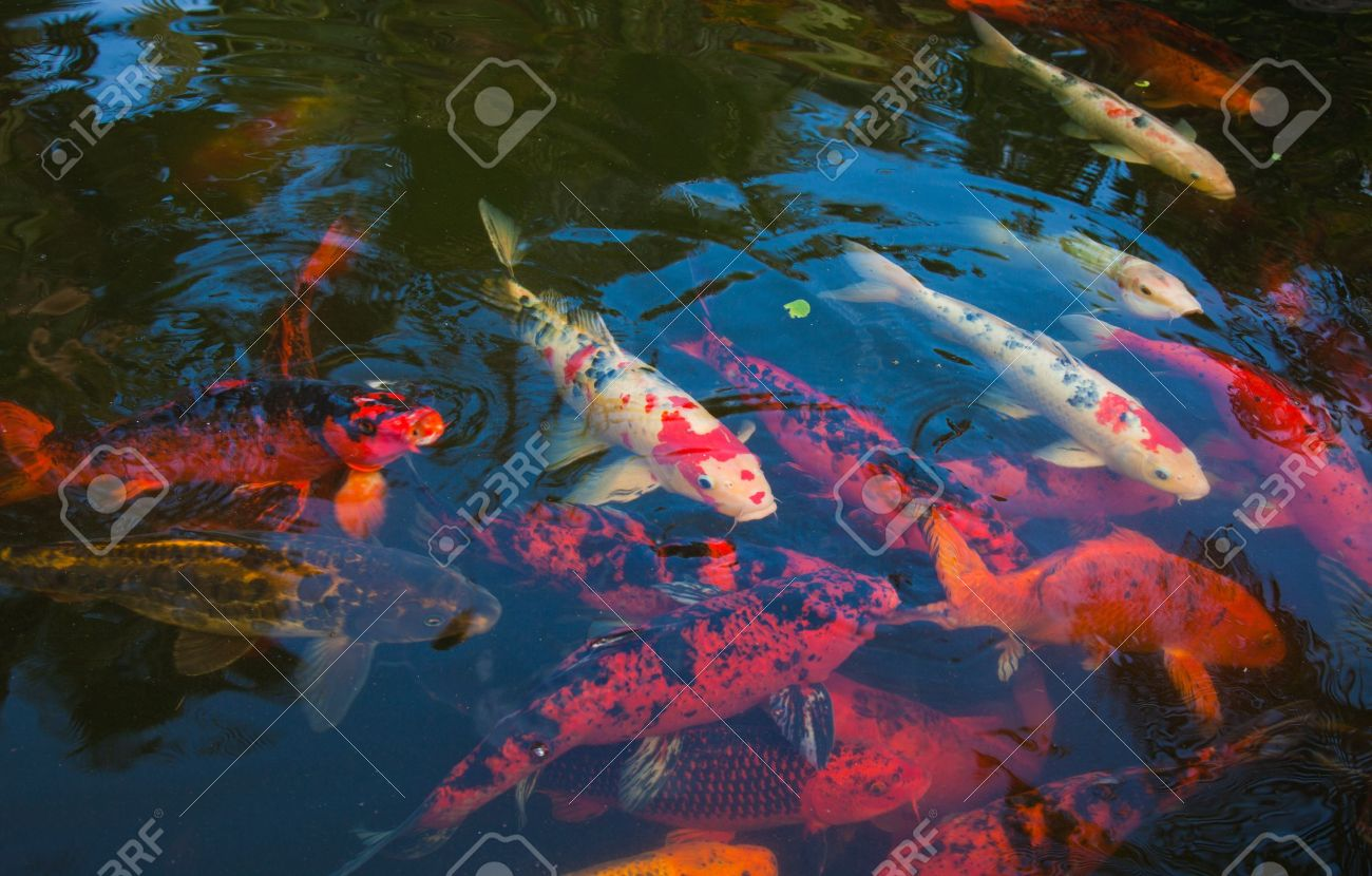 natural background of pond with koi carrp Stock Photo - 17967387