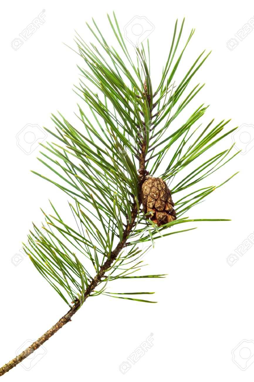Image result for white pine branch