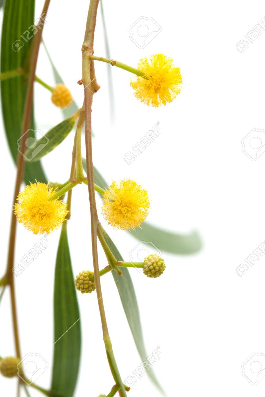 Acacia Twig With Yellow Fluffy Ball Flowers Isolated On White Stock