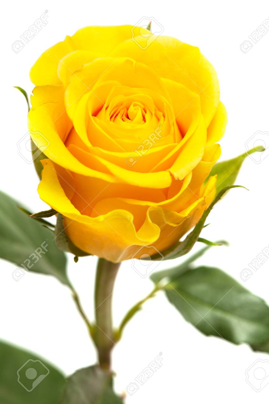 Single Yellow Rose Flower Isolated On White Stock Photo Picture And