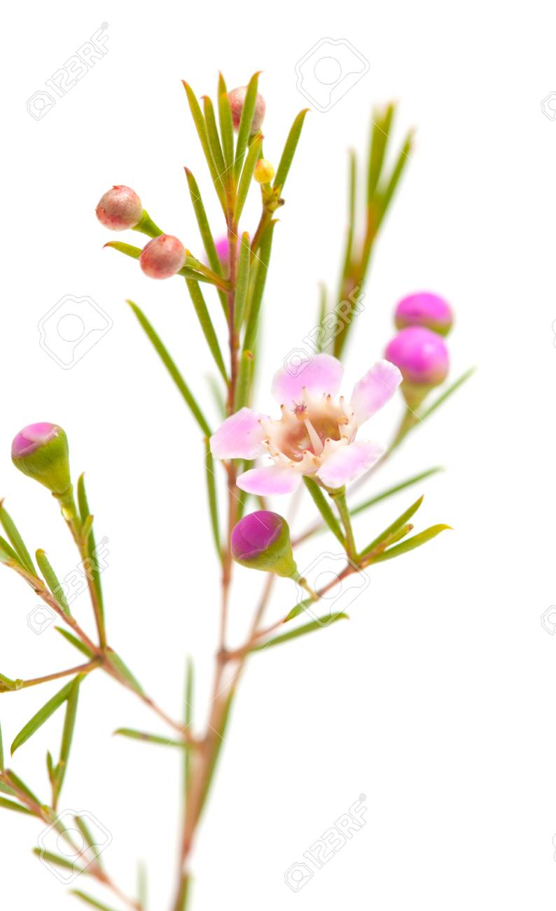 Small Pink Wax Flower Isolated On White Background Stock Photo