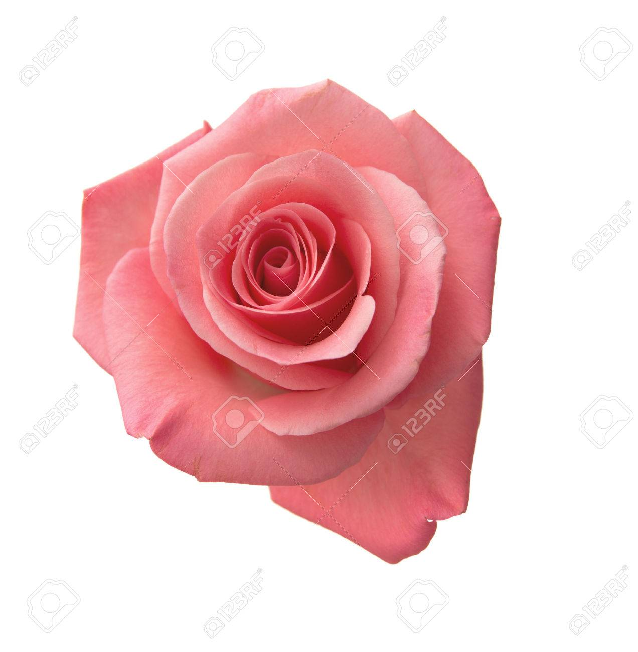 Gentle Pink Rose Isolated On White Background Stock Photo Picture