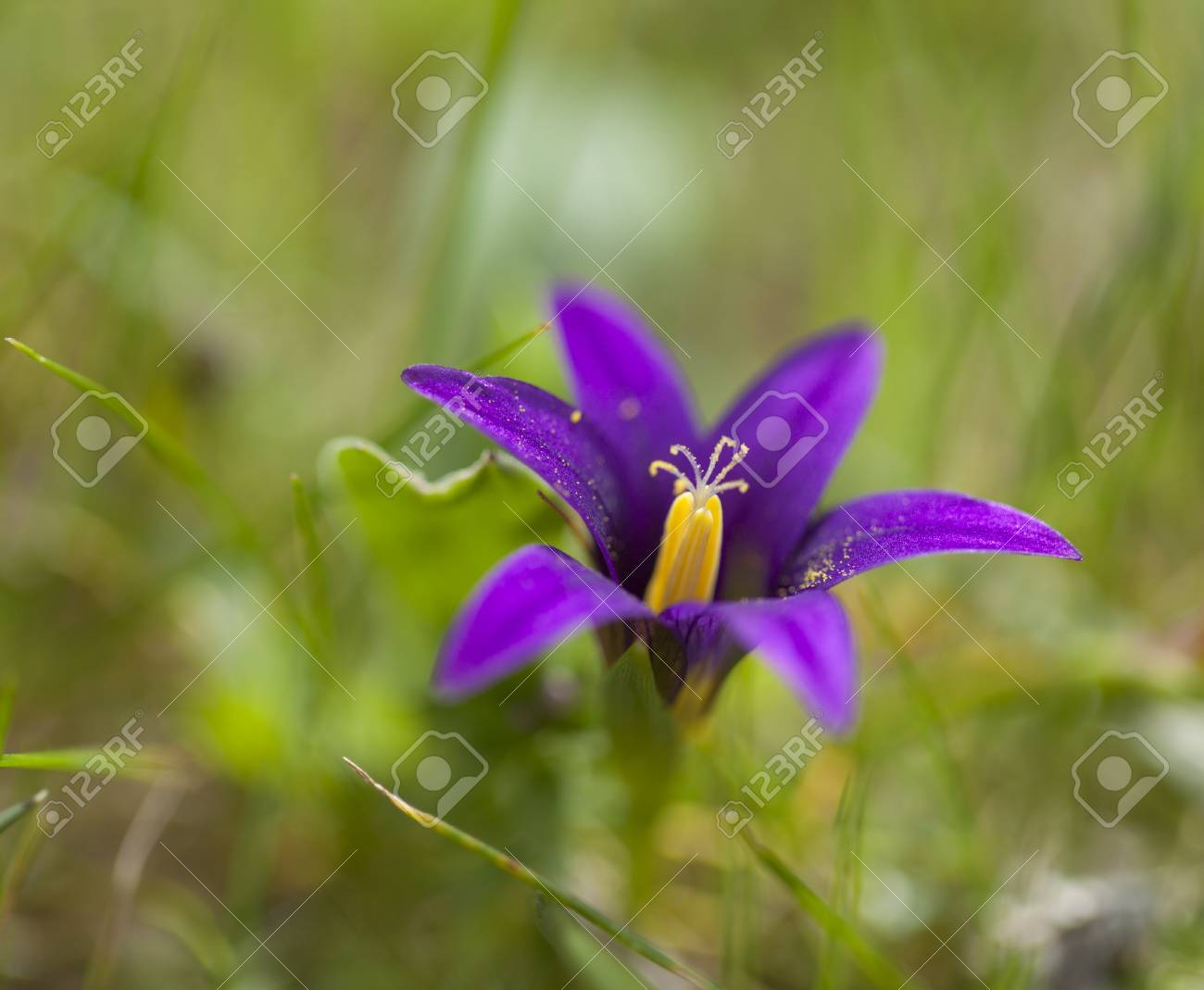 Flora Of Gran Canaria Flowering Romulea Small Lilac Six Petaled