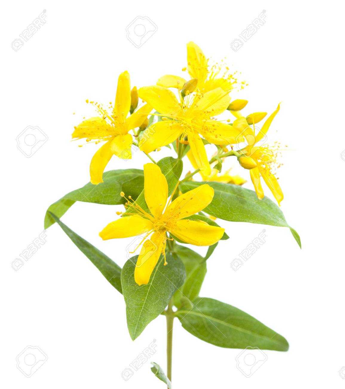 Yellow flowers of canary islands st johns wort isolated on stock stock photo yellow flowers of canary islands st johns wort isolated on white background mightylinksfo