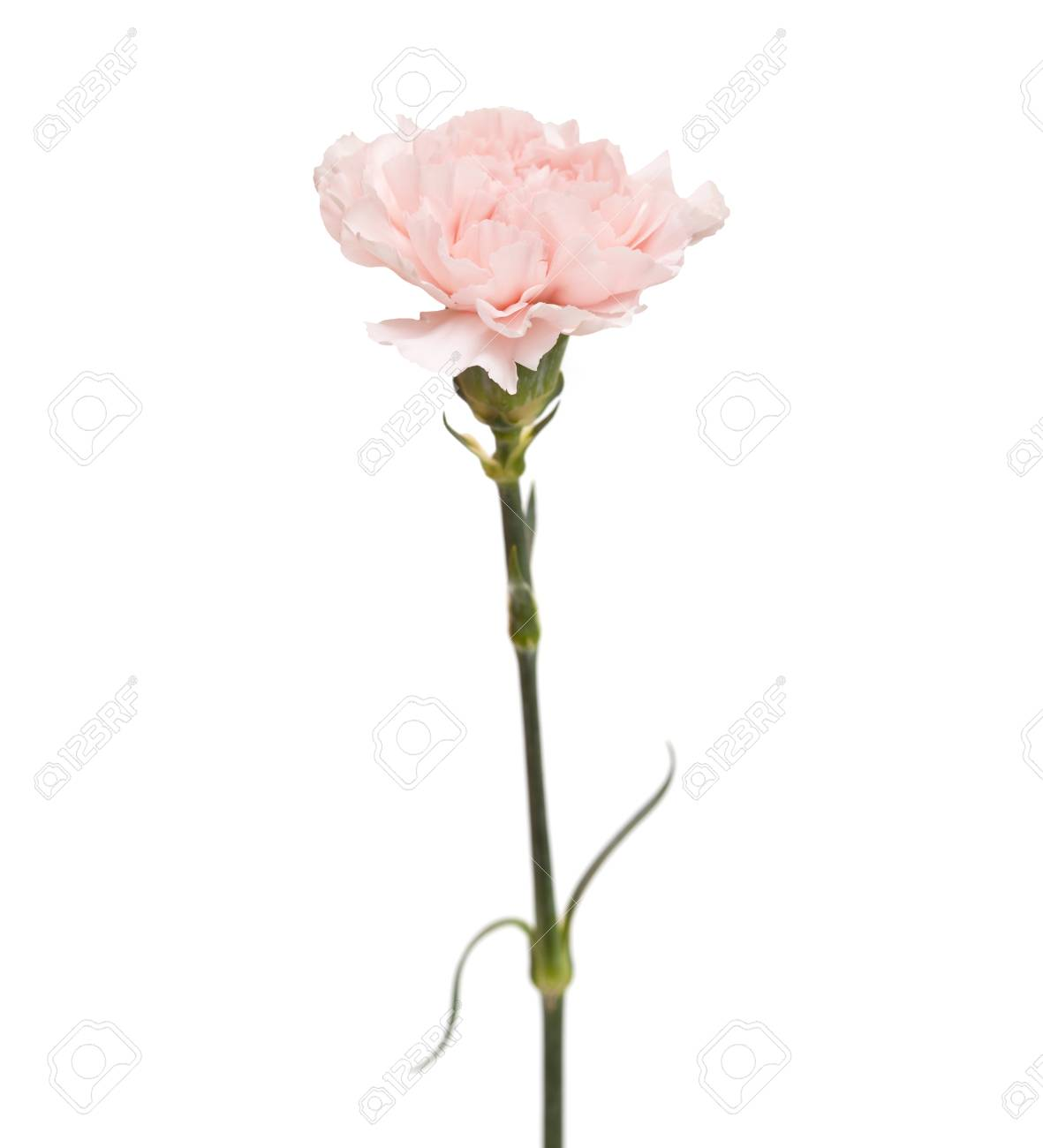 Gentle Pink Carnation Flower Isolated On White Background Stock