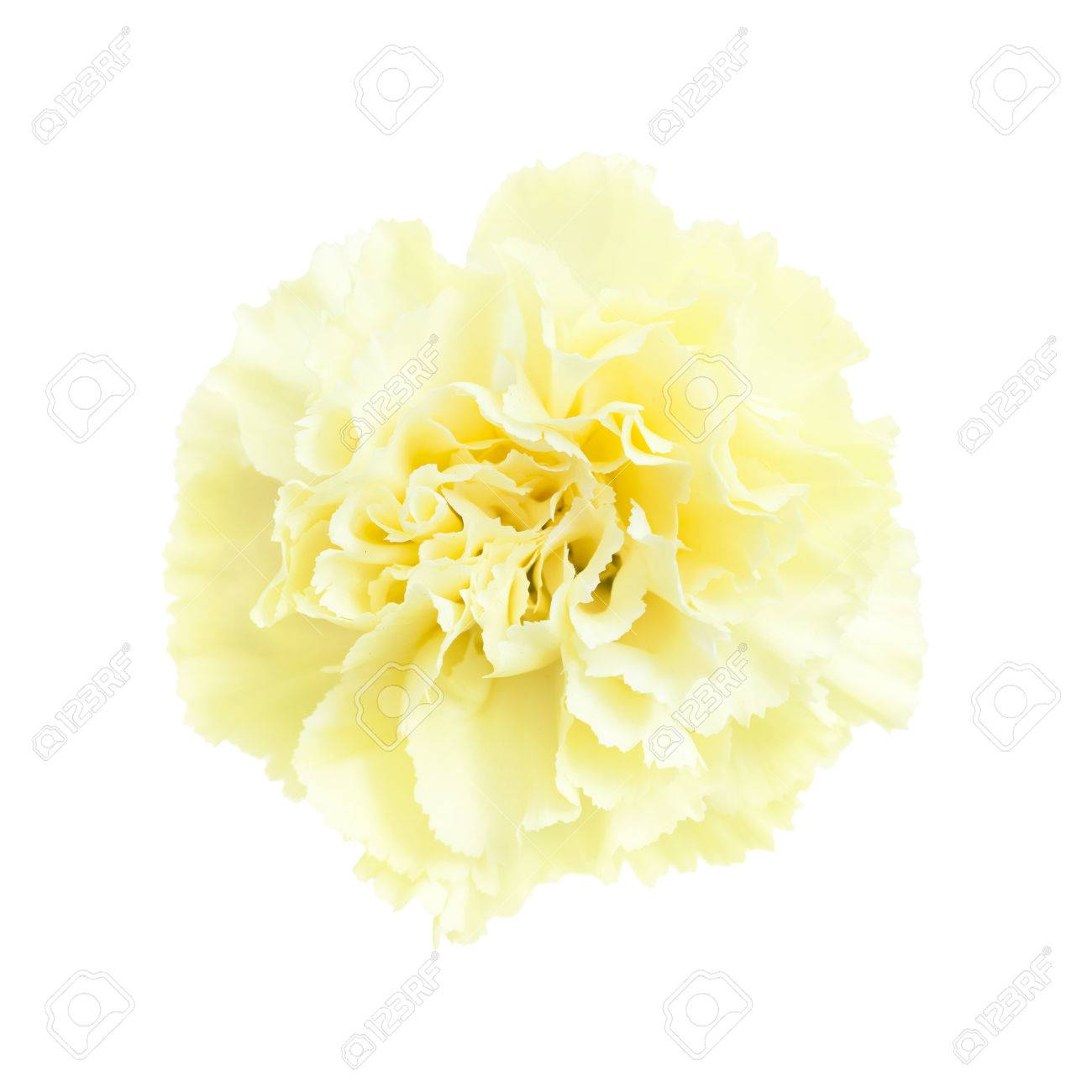 Pale Yellow Carnation Flowers Isolated On White Background Stock